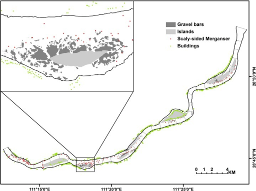 Distribution of Scaly-sided Merganser flocks and gravel bar patches in the 36 km river section of the lower Yuanjiang River.The red dots indicate 127 Scaly-sided Merganser flocks recorded over three winters.Green points represent houses along the river within a 50 m buffer zone. Areas in dark grey are gravel bars in river and area in light grey are islands.