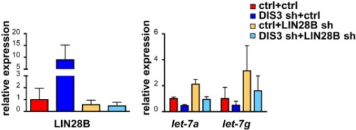 DIS3 controls let-7 through LIN28B. LIN28B mRNA (left panel) and let-7-a and let-7-g (right panel) levels of one representative experiment in which RPMI cells infected with a scrambled shRNA (ctrl) or with a DIS3 shRNA4 (DIS3 sh) underwent, after 3 days, a second infection with a scrambled shRNA (ctrl) or with a LIN28B shRNA. LIN28B and let-7 levels were measured 4 days after the second infection and normalized over GAPDH and RNU6B respectively. Bars represent SDs (n = 2 replicas of one representative experiment).