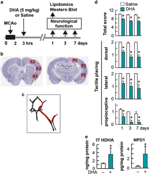 BIRC3 mediates the pro-survival response induced by the DHA/NPD1 pathway in an ischemia-reperfusion stroke model. (a–c) Model for inducing ischemia-reperfusion by middle cerebral artery occlusion (MCAo) in rats. (a) Timeline showing surgery, treatment and tests performed. (b) Coronal brain diagram (bregma level –0.3 mm) showing locations of regions for western blot and immunohistochemistry for Figure 7, and lipidomic analysis (A: anterior; P: posterior). (c) Diagram of MCAo model obtained by introducing intraluminal filament (red). (d) Total neurological score (normal score =0, maximal deficit=12), tactile placing (proprioceptive, lateral, dorsal reactions; normal score=0, maximal deficit=2) in rats after MCAo. DHA treatment improved the total and placing deficits on days 1, 3 and 7 compared with the saline-treated group. (e) Content of NPD1 and a second product of the stabilized precursor, 17HDHA, in penumbra regions of rats subjected to MCAo and treated with DHA or vehicle as a control. Data are means±standard error of the mean; n=6 per group. *P<0.05 in repeated-measures, ANOVA followed by Bonferroni test. DHA treatment=teal bars