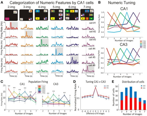 Hippocampal subfields CA1-CA3 firing in response to numeric categorization. Detection of numerosity features by numeric category selective hippocampal neurons. (A) Peri-event histogram arrays for six cells from CA1 that illustrate the selective numeric categorization of screen images. Thus, each row shows the firing response of one cell to the presentation of 2–7, images (in the Match phase) with the highest firing rate shaded in gray. Numeric categorization is illustrated by a color code so that red, orange, green, blue, dark blue and violet correspond to respectively 2, 3, 4, 5, 6, and 7 images on the screen. (B) The normalized activity for the cells in CA1 (A) and CA3 is shown for their selective category preference to the number of images. Note that both tuning plots to number categories (to CA1 and to CA3 in Figure 3S) show a distributed code. (C) The average firing activity across all selective cells in CA1 and CA3 with preferred numeric categories. Neurons in both subfields show significant firing preference for a given number of images. (D) Normalized average numeric tuning function across all preferred numeric categories and selective CA1 and CA3 neurons for the Match phase of the task. (E) Distributions of CA1 (red) and CA3 (blue) neurons with preferred numeric features in recorded during the Match phase of the DMS task. Error bars represent SEMs. Asterisks: *p < 0.01, **p < 0.001; ANOVA.