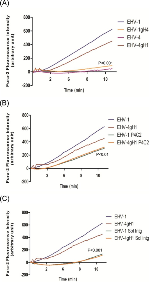 EHV-1 gH and cellular α4β1-integrin mediate cytosolic Ca2+ increase during virus entry. (A) ED cells were loaded with the Ca2+ indicator Fura-2AM and exposed to EHV-1, EHV-4, EHV-1gH4, or EHV-4gH1. (B) ED cells were incubated with 20 µg/ml of anti–α4β1-integrin MAb P4C2 for 1 h at 37°C. After washing, cells were loaded with Fura-2AM and exposed to EHV-1 and EHV-4gH1. (C) EHV-1 and EHV-4gH1 were incubated with soluble α4β1-integrin for 1 h at 37°C. The cells were loaded with Fura-2AM and exposed to the viruses. Changes in cytosolic Ca2+ levels were monitored using epifluorescence microscopy. Viruses were added at 50-s time point. The average from three independent experiments of fluorescence intensities of Fura-2AM versus time of exposure of ED cells to the viruses is shown. (A) P < 0.001 indicates a significant difference between EHV-1gH4 and EHV-4gH1 compared to parental EHV-1 and EHV-4, respectively. (B) P < 0.01 indicates a significant difference between EHV-1 and EHV-4gH1 viruses in the presence or absence of the integrin antibodies. (C) P < 0.001 indicates a significant difference between EHV-1 and EHV-4gH1 viruses in the presence or absence of soluble α4β1-integrin (Sol intg).