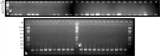 1.5 % agarose gel electrophoresis of PCR products of some accessions of Schinopsis spp. and related species. a ETS. Lane 1 molecular marker, 2–5S. boqueronensis, 6–8, S. cornuta, 9, S. peruviana, 10–13, S. heterophylla, 14–18, 21, 22, S. brasiliensis, 19, 20, S. marginata, 21, 27, 28S. lorentzii, 23, 24, 29–31Astronium urundeuva, Apterokarpos gardneri, Lithraea molleoides, Loxopterygium grisebachii and Schinus areira. b ITS2. Line 1, 12, 24 molecular marker, 2S. cornuta, 3–6S. heterophylla, 7–10, 15, 16 S. brasiliensis, 11, 12S. heterophylla, 13, 18, 19, S. lorentzii, 20–22, Lithraea molleoides, Loxopterygium grisebachii and Schinus areira. Arrows indicate the reference bands of the marker Lambda EcoRI/HindIII (564 bp in a and b) to estimate the amplicons size
