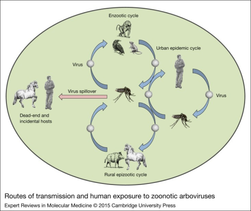 Routes of transmission and human exposure to zoonotic arboviruses. Infectious agents may be transmitted to humans by direct contact with infected animals, mechanical vectors or intermediate hosts. Arboviruses are maintained in mosquito-monkey, mosquito-rodent, mosquito-bird, mosquito-pig, mosquito-horse and mosquito-human cycles. The enzootic cycle occurs in the region where humans intrude into the natural foci of infection. The rural epizootic cycle is involved among domestic animals and mosquitos, and amplified in the presence of intermediate hosts, which result in representing a large reservoir of viruses and severe spillover effect to dead-end hosts. In urban settings, viruses are transmitted between humans and the mosquito vectors in an urban epidemic cycle, using humans for amplification (Ref. 10).