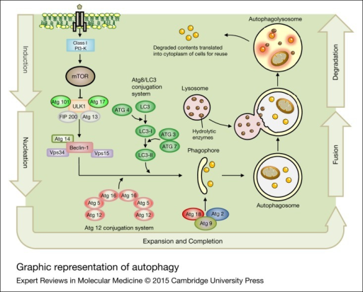 Graphic representation of autophagy. Autophagy is a process for the degradation and recycling of damaged or unnecessary cellular compartments, which has several tightly regulated steps including induction, nucleation, expansion and completion, fusion and degradation. The mTOR is known as the key regulator of autophagy induction and can be suppressed by ULK1, leading to trigger VPS34-Beclin 1-class III PI3-kinase complex. Several different membrane pools contribute to the formation of the phagophore. The Atg proteins (Atg2, Atg9, Atg18) are essential for phagophore formation. The ATG and LC3 conjugation system also contribute in autophagosome membrane formation and elongation. The autophagolysosome then is formed by fusion of the autophagosome with a lysosome to degrade and reuse the compounds. ATG, autophagy-related genes; mTOR, mammalian target of rapamycin.