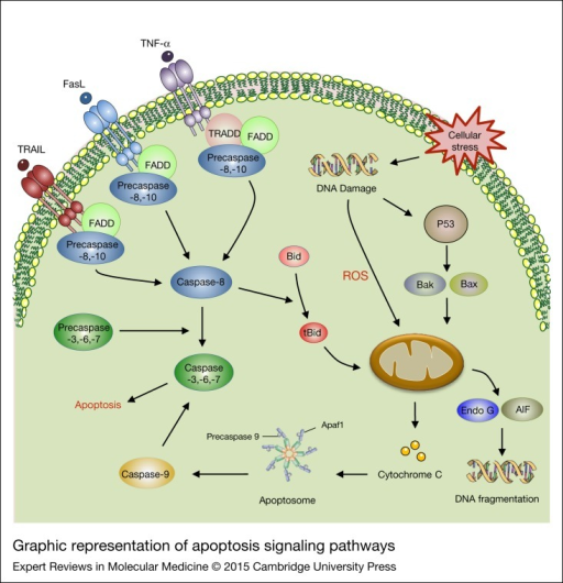 Graphic representation of apoptosis signalling pathways. Apoptosis is initiated via two different routes including extrinsic and intrinsic apoptotic pathways. The extrinsic signals are initiated by cell death ligands (e.g. FasL, APO-2L, TRAIL, TNF) and activate FADD and subsequently cleave pro-caspase-8. Cleavage of pro-caspases-8 and -10 initiate activation of caspases-8 and -10, which later can directly trigger effector caspases including caspases-3, -6 and -7. The intrinsic pathway is stimulated via DNA damage. Once DNA damage occurs, p53 is activated and induces apoptosis in a mitochondria-dependent manner. In this pathway, pro-apoptotic and antiapoptotic proteins are up- and down-regulated, leading to release of cytochrome c. Released cytochrome c later can activate caspase 9 which in turn activates caspase-3. FasL, Fas (Apo-1/CD95) ligand; TNF, tumour necrosis factor receptor TRAIL, TNF, tumour necrosis factor receptor.