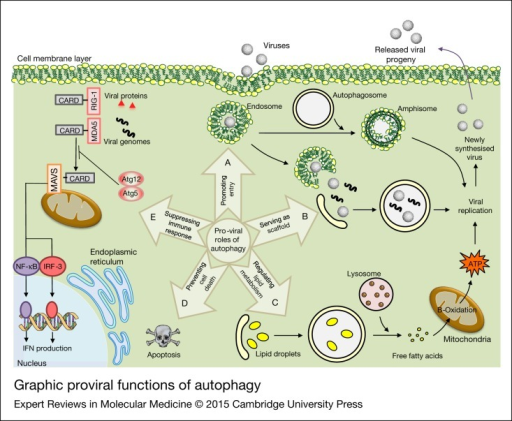 Graphic proviral functions of autophagy. There are five possible mechanisms for modulating viral replication by autophagy. Amphisome formation is thought to be beneficial for viral cellular entry and replication. Induction of autophagosome formation is also important for some virus' replication. Furthermore, viruses initiate autophagy to benefit from lipid droplets as an energy source during viral replication. Free fatty acids are liberated from lipid droplets during autophagy to produce ATP. Viruses also stimulate autophagy to subvert immune responses by selectively degrading key regulatory molecules. Another mechanism is that viruses promote their replication by prolonging cell survival and suppressing cell death. The mechanistic details related to proviral functions of autophagy are discussed in the text.