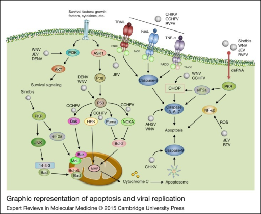 Graphic representation of apoptosis and viral replication. Viral infection, in general, can induce both intrinsic and extrinsic apoptotic pathways. Viruses like CHIKV, CCHFV and RVFV initiate extrinsic signals through cell death ligands (e.g. FasL, APO-2L, TRAIL, TNF), causing caspases-8 activation which then triggers caspases-3, -6 and -7). AHSV and WNV directly trigger caspase 3; however, CHIKV targets caspase 9. DENV and WNV affect the intrinsic pathway of apoptosis through stimulation of P53. Once P53 is activated, mitochondria-dependent apoptosis can be activated. Viral infection can also induce PKR and this kinase can affect eIF2a, resulting in activation of effector caspases and initiation of apoptosis. Viruses can also have anti-apoptotic activity. DENV, WNV and JEV trigger survival signalling through PI3K-AKT signalling pathway. PKR can be initiated by Sindbis virus which leads to inhibition of cellular translation through eIF2a phosphorylation, suppressing Mcl-1 biosynthesis. Sindbis virus can regulate 14-3-3 through activation of JNK followed by induction of PKR (for other details see text). AHSV, African horse sickness virus; CHIKV, Chikungunya virus; CCHF, Crimean–Congo haemorrhagic fever virus; DENV, Dengue virus; FasL, Fas (Apo-1/CD95) ligand; JEV, Japanese encephalitis virus; JNK, c-Jun N-terminal kinases; TNF, tumour necrosis factor receptor; TRAIL, TNF-related apoptosis-inducing ligand; PKR, (dsRNA)-activated protein kinase; RVFV, Rift valley fever virus; WNV, West Nile virus.