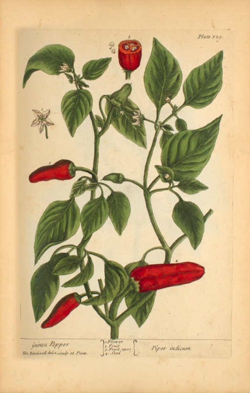 <p>Illustration of the flower, fruit, and seeds of a pepper plant.</p>