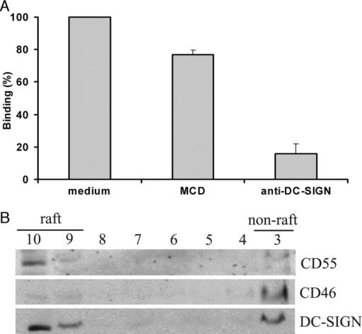 DC-SIGN colocalizes with lipid rafts on K-DC-SIGN. (A) To investigate the effect of cholesterol depletion on DC-SIGN–mediated adhesion, K-DC-SIGN cells were incubated in serum-free medium with or without 20 mM MCD for 30 min at 37°C. Subsequently, gp120-coated fluorescent beads (1-μm diam) were added and the mixture was incubated for an additional 30 min at 37°C. Binding was measured by flow cytometry. After MCD treatment, cell viability was assessed by trypan blue staining. The values represent the mean of three independent experiments ±SD. (B) K-DC-SIGN were solubilized with 1% Triton X-100, subjected to sucrose gradient centrifugation and analyzed by Western blotting for the indicated molecules. The numbers indicate the gradient fractions. Fractions 9 and 10 are low density fractions containing DRM and are referred to as raft fractions. (C) Confocal microscopy analysis of copatching of DC-SIGN and GM1. K-DC-SIGN cells were stained at 4°C with 10 μg/ml anti–DC-SIGN (or anti-CD55 or anti-CD46) and 10 μg/ml FITC-CTxB. Co-patching was induced by adding secondary Ab (Materials and methods), and, after fixation in PFA, cells were analyzed by confocal microscopy. Merged images are shown in the right panel. Results are representatives of multiple cells in three independent experiments. Bar, 5 μm.