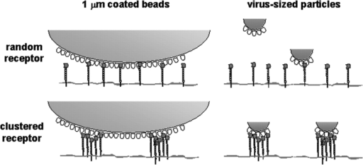 DC-SIGN microdomains enhances binding of virus-sized particles with respect to isolated DC-SIGN molecules. Beads of 1-μm diam are saturated with numerous coated ligand molecules that can engage simultaneous interactions with several individual DC-SIGN molecules. These multiple interactions may strengthen the binding both with random and clustered DC-SIGN. In contrast, when virus-sized particles are used, the contact surface and therefore, the number of ligand molecules is much smaller. Consequently, only interactions with DC-SIGN molecules in highly organized multiprotein assemblies may result in stable binding of virus particles.