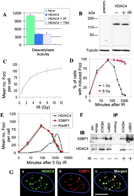 Dose and time dependency of DNA damage–induced HDAC4 foci. (A) HDAC4-associated deacetylase activity is not appreciably changed by IR. HDAC4 or Ncor was immunoprecipitated from HeLa lysates and assayed for deacetylase activity. Ncor and HDAC4 treated with TSA serve as positive and negative controls, respectively, for the deacetylase assays. (B) HDAC4 levels do not change after IR. Equal amounts of total protein (25 μg) from HeLa cells were separated via 4–20% gradient SDS-PAGE, transferred to nitrocellulose, and probed with rabbit preimmune serum (left), anti-HDAC4 (right), or anti–α-tubulin antibody (loading control) (bottom). Mock-irradiated (−IR) or irradiated (+IR) cells were harvested 1 h after 3 Gy. (C) HDAC4 foci formation is dependent on the dose of IR. HeLa cells exposed to increasing doses of IR were fixed after 1 h and stained for HDAC4 foci. At least 100 cells were counted for each dose. Error bars represent the SD, and each point represents the average of three experiments. (D) Kinetics of HDAC4 foci formation. HeLa cells irradiated with 1 and 8 Gy were fixed at various times, and the average number of cells showing induced HDAC4 foci was counted. Time is depicted on a log scale. (E) Comparison of the kinetics of foci formation amongst HDAC4, 53BP1, and Rad51. HeLa cells were irradiated (3 Gy), fixed at the indicated times, and separately stained for HDAC4, 53BP1, and Rad51 foci. Error bars represent the SD, and each point represents the average of three experiments. (F) Coimmunoprecipitation of HDAC4 and 53BP1. HeLa cells were lysed in NETN buffer (150 mM NaCl, 1 mM EDTA, 20 mM Tris, pH 8, 0.5% NP-40) and, for each sample, 50 μg of lysate from unirradiated (IR−) or irradiated cells (IR+) was incubated with the indicated antibodies or preimmune serum (IP). The immunoprecipitates were separated on 7.5% SDS-PAGE gels and probed for 53BP1 (top) and HDAC4 (bottom) (IB). Total cell lysate (25 μg, Whole cell) served as a positive control for the immunoblots. (G) Colocalization of HDAC4 foci relative to 53BP1 and Rad51 foci. HeLa cells were irradiated with 3 Gy and 1 h later costained with (a) rabbit anti-HDAC4 and (b) rat anti-53BP1. (c) Images from A and B were merged to reveal that most foci were coincident. The nuclei are outlined in blue. Bar, 5 μm.