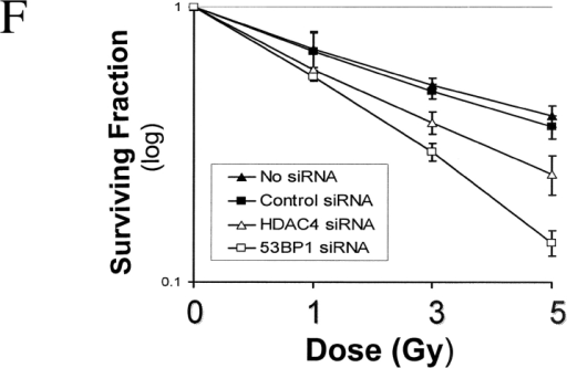 Silencing of HDAC4 expression abrogates the DNA damage–induced G2 checkpoint and decreases cell viability. HeLa cells were transfected with control or HDAC4 siRNA, followed 36 h later by mock (No IR) or 5-Gy IR (IR). 8 h after IR, parallel plates of cells were harvested, and cell cycle distribution was analyzed via flow cytometry (A and B) or immunofluorescence (C and D). (A) Silencing of HDAC4 does not have a large effect on unirradiated cells, but it reduced the proportion of irradiated cells with G2/M DNA content. Cells with DNA content less than G1 cells (sub-G1) likely represent apoptotic cells/cell debris, and is especially apparent in cells silenced for HDAC4 and irradiated. (B) Histograms showing cell cycle distribution data from A, indicating the percentage of cells in each part of the cell cycle. The experiment was repeated three times with similar results. (C and D) To better distinguish the proportions of the total population of G2 cells, cells were stained for cyclin B1, CENP-F, and DAPI and analyzed via immunofluorescence. G2-phase cells show cytoplasmic cyclin B1 staining, diffuse nuclear CENP-F staining, and uncondensed chromatin (stained with DAPI) (Liao et al., 1995; Kao et al., 2001). (C) For each pair of images, the left panel shows cyclin B1 or CENP-F staining, and the right panel shows the same cells stained with DAPI. Cells treated with control siRNA show cytoplasmic cyclin B1 and nuclear CENP-F staining, indicative of the IR-induced G2 checkpoint. In contrast, few HDAC4 siRNA–treated cells were blocked in G2, but instead showed fragmented and condensed chromatin that retained cyclin B1 and CENP-F staining. (D) Histogram showing the distribution of CENP-F staining cells with uncondensed (G2 blocked) versus condensed or fragmented chromatin after IR of cells treated with control or HDAC4 siRNA. At least 300 cells were counted for each experiment. (E) Histogram showing plating efficiency of untreated controls or cells treated with control, HDAC4, or 53BP1 siRNA. Cells were plated onto fresh dishes with fresh media 48 h after siRNA treatment, and the proportion of surviving cells capable of excluding Trypan blue was determined 12 h later. The experiment was repeated three times with similar results. Error bars indicate the SD. (F) Survival curves indicating the radiosensitivity of control cells or cells treated with control, HDAC4, or 53BP1 siRNA. Cells were prepared as in E and irradiated with the doses indicated, and the proportion of surviving colonies was determined 2 wk later. All values were corrected for the plating efficiency. Error bars indicate the SD.
