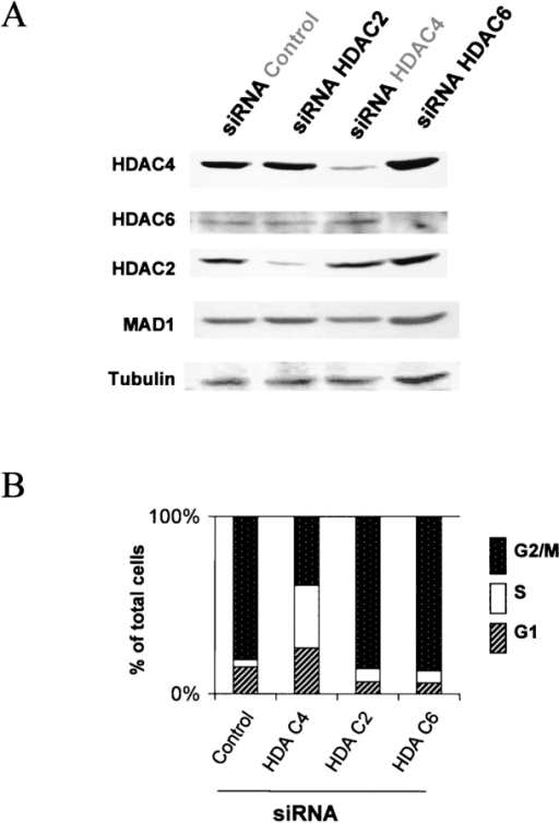 Silencing of HDAC2 and HDAC6 does not abrogate the G2 checkpoint. Parallel plates of cells were treated with control, HDAC2, HDAC4, or HDAC6 siRNA. 36 h after siRNA treatment, cells were irradiated (5 Gy) and harvested 8 h later for immunoblotting (A) and cell cycle analysis by FACS® (B). (A) Immunoblot of cell lysates from cells treated with siRNA. Cell lysates were separated on 7.5% SDS-PAGE, transferred onto nitrocellulose, and the membranes were probed with anti-HDAC4, HDAC6, HDAC2, Mad1, or α-tubulin antibodies. These show efficient silencing of the target proteins by the HDAC2, 4, and 6 siRNA. Mad1 and α-tubulin are not affected by the specific siRNA treatments and serve as loading controls. (B) Cell cycle distribution of treated cells. Cell cycle analysis shows that the silencing of HDAC4 protein had the most conspicuous effect on abrogation of the G2 checkpoint after IR, relative to silencing of HDAC2 and HDAC6.