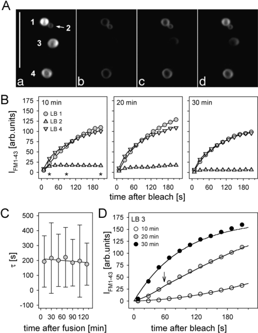 Late states of fusion pores. (A) LSM images of fused LBs at the cell periphery before (a) and at different times (b–d, corresponding to the asterisks in B; bleaching was at time 0) after a FRAP measurement. (B) Minor changes in IFM 1–43 recovery rates of LBs 1, 2, and 4, measured at ∼10, 20, and 30 min after initial fusion. (C) Mean time constants of individual LBs (n = 8 ± SD) after repeated FRAP measurements. (D) Progressive increase in IFM 1-43 recovery of LB no. 3 in A within three subsequent measurements. Data were fit by Eq. A4 (solid lines). Arrow denotes transition of the fusion pore diameter (see text). Bar, 10 μm.
