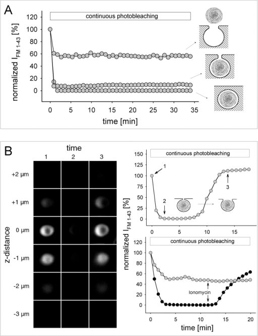 Fusion pore dynamics revealed by continuous photobleaching. (A) Exemplified IFM 1-43 recordings obtained from released LBs, LBs within fused vesicles, and LBs within transiently (as in Fig. 2 D) fused vesicles. Steady-state IFM 1-43 reflects a balanced rate between dye bleaching and replenishment. (B) Confocal z sections of a single fused LB at times indicated in the upper diagram during a continuous photobleaching experiment (identical LSM gain setting in 1–3). Despite the apparent disappearance of fluorescence during steady state, the LB was still visible by contrast enhancement (IFM 1-43 >0). The shift in steady-state IFM 1-43 reflects spontaneous fusion pore expansion. (Bottom right) IFM 1-43 tracings of two LBs from the same cell, demonstrating the differential effect of ionomycin on the steady-state IFM 1-43.