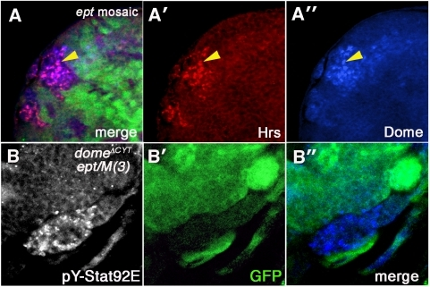 Dome localization in ept mutant tissue.(A-A″) A clone of ept2 mutant eye disc cells marked by the absence of GFP (green) stained for Dome (blue) and the endocytic marker Hrs (red) shows extensive accumulation of Dome in Hrs-positive structures (yellow arrowhead denotes example of magenta overlap). (B-B″) A confocal image of a section of an ept2 eye-antennal tumor expressing domeΔCYT (using the eyFLP;Actin>CD2>Gal4, UAS-GFP system) and stained for anti-pYStat92E (blue); GFP (green) marks cells that express the domeΔCYT transgene. The anti-pY-Stat92E epitope is strongly reduced in cells that express domeΔCYT but not in the patch of GFP-negative, ept2 mutant cells that do not express domeΔCYT.