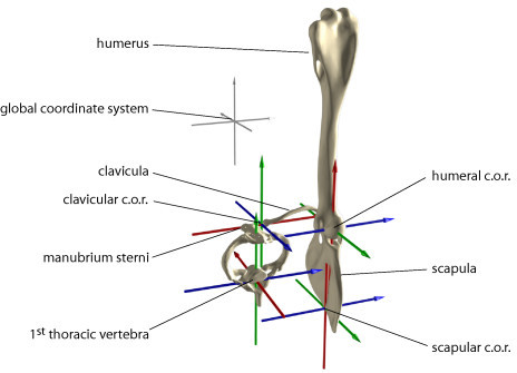 Anatomical coordinate systems and zero-positions of rotations are used to quantify three-dimensional kinematics of the pectoral girdle. The anatomical coordinate systems were placed in the center of rotation (c.o.r.) of the proximally adjacent joint (in case of 1st thoracic vertebra into the center of the vertebral body; in case of scapula we approximated the instantaneous c.o.r. at the vertebral border of the scapula at the extension of the spina scapulae). X-axes (red) were set to represent the long axis of elements. Z-axes (blue) were oriented to represent the most distinct motion of the bone of interest. Y-axes (green) were orthogonal to the other two axes. For zero-points of rotations the anatomical axes were aligned according to the global coordinate system (unnatural pose). Motions of hierarchically higher elements have displacing effect for all lower ranked elements, i.e., motions of humerus are reported relative to scapula, scapular and clavicular motion relative to 1st thoracic vertebra, 1st thoracic vertebra motion relative to global reference.