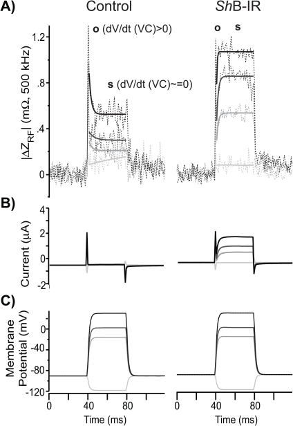 Temporally Resolved RF Measurements.A) RF impedance changes (/ΔZRF/) measured during TEVC relative to the impedance at holding potential (−90 mV) in control oocytes, expressing endogenous proteins only (n = 10, left column), and ShB-IR expressing oocytes (n = 9, right column). ShB-IR expressing oocytes elicited a membrane-potential-dependent (Vm*) RF response different than control oocytes. RF impedance changes were analyzed in two regions; the RF response during the onset of voltage-step (o, average /ΔZRF/o 0–1 ms after voltage step, dVm*/dt > 0) and the RF response after membrane potential achieved its command (steady-state) level (s, average /ΔZRF/s 5–35 ms after voltage step, dVm*/dt ≅ 0). B) TEVC current measurements were used to verify ion-channel expression and responses (leak current subtracted, capacitive transient unsubtracted) to C) whole-cell voltage-clamp.