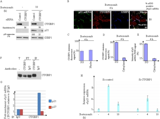 CUGBP1 binds to p21 mRNA and promotes its accumulation and expression upon bortezomib treatment.(A–D) Seventy-two hours following transfection with CUGBP1, or control siRNAs, HeLa cells were treated with bortezomib (2 µM) for either 10 h (A) or 4 h (B). (A) Protein extracts were prepared and analyzed by western blot to detect CUGBP1, p21, and G3BP1 proteins (loading standards) using the appropriate antibodies. The percentages of CUGBP1 knockdown and p21 expression were determined by quantitation of the signal on films by densitometry using Adobe Photoshop as described in Figure 1C. Shown are typical results of three experiments. (B–D) p21 mRNA is quantitatively recruited into SG where it co-localizes with CUGBP1. (B) Cells were processed for FISH to detect p21 mRNA coupled to immunofluorescence to visualize SG using antibodies against CUGBP1 and G3BP1. The percentage of SG (>3 granules/cell) is indicated at the bottom of the right panel. The percentage of cells harboring SG positives for p21 mRNA is also indicated on the right of the figure. Shown are typical results from five different fields and three different experiments containing a total of more than 1000 cells. (C–D) Densitometry quantification of CUGBP1 immunofluorescence signal in SG versus nuclei (C) and in SG versus the cytoplasm (D) using Adobe Photoshop software as described in Figure 1. (E) Densitometry quantification of p21 mRNA FISH signal was done as described in Figure 2. (F–G) HeLa cells were treated with bortezomib for 4 h and their extracts were used to immunoprecipitate CUGBP1 with anti-CUGBP1 antibodies and with IgG as a control. IP: Immunoprecipitate; FT: flow-through following immunoprecipitation; Total: the input used for immunoprecipitation. (F) Proteins were analyzed by western blot for CUGBP1 immunoprecipiation. (G) mRNAs were isolated from each immunoprecipitate and quantified by qRT-PCR. The amounts of p21 mRNA and p27 mRNA (as control) were normalized against GAPDH mRNA. (H) HeLa cells were treated with CUGBP1-specific siRNA, or with control (non-specific) siRNA as described above, incubated with 2 µM bortezomib for either 4 or 10 h, lysed, and their total RNA isolated and analyzed for p21 mRNA levels by qRT-PCR. The amount of p21 mRNA was normalized against that of GAPDH mRNA as described in Figure 2.