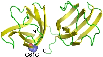 Crystal structure of human γD-crystallin (PDB ID: 1HK0).The position of G61 is highlighted by space filling model. N and C represent the N- and C-terminus of the protein.