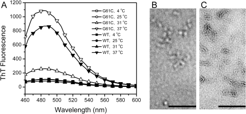 Effect of the G61C mutation on the fibrilization of γD-crystallin under acidic condition.(A) ThT fluorescence of the WT and mutated proteins in 10 mM PBS buffer, pH 3, incubated for 48 h at 4°C, 25°C, 31°C and 37°C. The protein concentration was 5 mg/ml. The spectra recorded at 4°C or 25°C superimposed each other for the WT and mutated proteins. (B and C) The transmission EM picture of 0.5 mg/ml WT (B) and G61C γD-crystallin (C) samples incubated at 37°C for 72 h. The bar represents 200 nm.