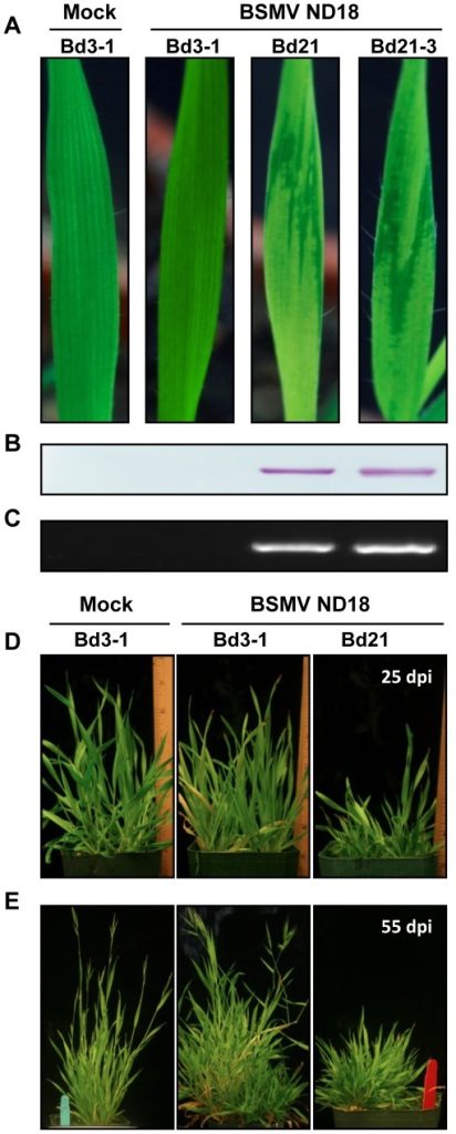 Disease responses of Brachypodium lines Bd3-1, Bd21 and Bd21-3 to infection with BSMV ND18.(A–C) Uninfected Bd3-1 and inoculated Bd-3-1, Bd21 and Bd21-3 at 12 dpi. (A) Uninfected Bd3-1 plants remained green and continued to grow rapidly, as was typical of uninfected Bd21 and Bd21-3 plants. Nd18 inoculated Bd3-1 plants failed to develop symptoms and had the same general appearance as their uninoculated counterparts. In contrast, Bd21 and Bd21-3 inoculated plants developed visible mosaic symptoms on emerging leaves by 7 days post inoculation (dpi) and the symptoms remain visible until at least 20 dpi. (B) Western blots to determine the presence of the 22 KD BSMV coat protein in leaf extracts from the first emerging leaf of uninoculated and inoculated plants at 6 dpi. (C) RT-PCR analyses of leaf extracts taken at 21 dpi from the lines shown in the top panel. A forward primer complementary to the 3′ end of BSMV RNAs and a reverse primer of the same polarity as the γb gene were designed to produce an ∼800 nt product. (D–E) Chronic disease symptoms on Brachypodium lines inoculated with BSMV ND18. (D) Bd3-1 and Bd21 at 25 dpi. Note stunting of Bd21 compared to Bd3-1. (E) Healthy Bd3-1 and Bd 3-1 and Bd21 at 55 dpi. Note: Uninoculated plants and inoculated Bd3-1 plants have a similar growth characteristics and seed population, but Bd21 plants are stunted and fail to flower or set seeds.
