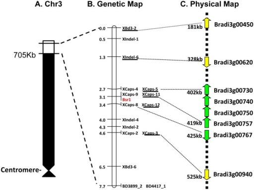 Genetic map of BSMV Bsr1 resistance within the distal region of Bd21 chromosome 3.(a)Cartoon of the short arm of Bd21 chromosome 3 (Chr3S). The white region shows 705 kb of distal region of Chr 3 encompassing the fine mapping region. (b)Genetic map of the 705Kb region of chromosome 3. Markers are shown on the right with map distances on the left. The furthest flanking markers that were previously assigned to the Brachypodium Chr 3 are indicated by dashed lines. The Bsr1 locus is indicated in red. The six markers located within the predicted Bd21 locus served as anchors to establish co-linearity between the Bsr1 genetic map and the physical map of Bd21. (c) Physical map of the Bsr1 interval. Annotated genes are indicated by arrows and candidate genes are indicated in green. Approximate locations (bp) are shown on the left.