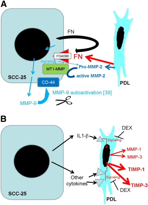 Summary of the suggested mechanism for the regulation of MMPs and TIMPs in the paracrine interplay between SCC-25 cells and fibroblasts. MMP-9 showed a tumor specific expression, regulated presumably by the fibronectin ITGA5B6 pathway. The ITGA5 was inducible in both SCC-25 and PDL fibroblasts in co-culture, but ITGB6 expression was tumor (SCC-25) specific. Based on a previous report [44], MMP-9 might be activated in interaction with CD-44, and according to our gelatinase assay results, it remains bound with the tumor cells (A). The results of this study suggest that MMP-2 is secreted in its pro- (inactive-) form by CAFs surrounding the tumor cells, and at a lower extent also by the tumor cells themselves. Activation of MMP-2 either requires MT1-MMP localized on the SCC-25 cancer cells [34], or integrins, where the involvement of αv integrins (ITGA5) is expected (A).MMPs-1, -3 and TIMPs-1, -3 are produced in the PDL fibroblasts, and their expression might be regulated by inflammatory cytokines, including IL1-β produced by SCC-25 cells. The gene expression of MMP-1, MMP-2, TIMP-1 and TIMP-3 was reduced by dexamethasone (DEX) (B).