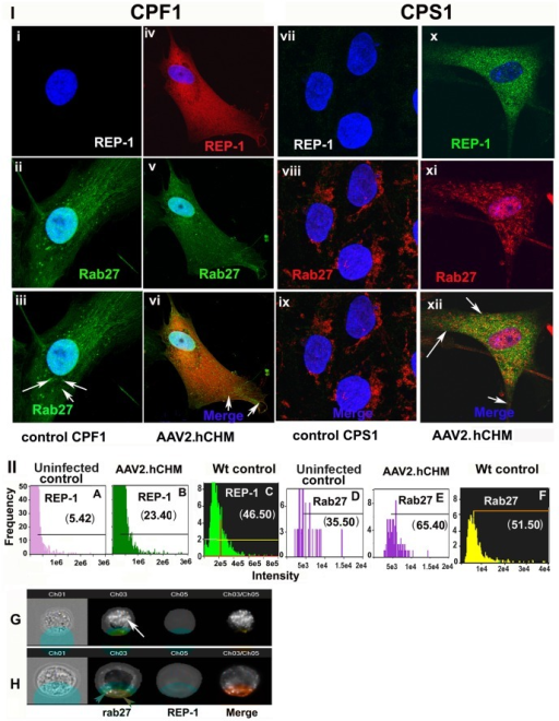 Trafficking of RAB27 protein is restored in affected cells after infection with AAV2.hCHM. CPF1 fibroblasts (i–vi) or CPS1 iPSCs (vii–xii) derived from CHM individuals showed improved trafficking of RAB27 after infection with AAV2. hCHM. In control CPF1 (i–iii) or CPS1 (vii–ix) untreated cells, Rab 27a (Green) was localized near the nucleus, whereas infection with AAV2. hCHM favored trafficking of RAB27 out of the perinuclear region in both CPF1(Rep-1 red, RAB27-green) (v–vi) and CPS1 (xi–xii) cells (REP1-green; RAB27-red). Nuclei are stained with DAPI and appear blue. II). Quantitative analysis of REP-1 and RAB27 levels in CHM iPSCs measured with imageStream. Histograms represent the increased level of exogenous REP-1 in cells infected with AAV2. hCHM (B) compared to controls (A) and unaffected wt controls (C). However, the level of REP-1 in transduced cells is reduced compared to unaffected control cells (E). Labeled Rab was increased in the surface mask in transduced cells (E) compared to uninfected cells (D). The levels of membrane-associated Rab 27 are comparable to the levels observed in unaffected wild type controls (F) Panel G and H shows representative cell images demonstrating the trafficking of Rab 27 to cell membrane in grey-scale. From left to right are shown: Brightfield, Rab 27, and REP-1, followed by composite images of REP-1 and RAB27. The cell surface masks used to define the inside and surface of the cell are overlayed in Brightfield and RAB/REP-1 labeled cells. White arrow in panel G, accumulated Rab inside the cell. Red arrowheads in panel H, presence of membrane Rab.
