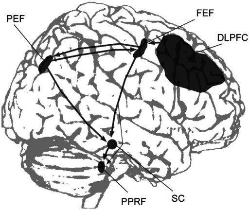 A simplified scheme showing the main cortical regions and subcortical structures involved in the control of saccadic eye movements (DLPFC, dorsolateral prefrontal cortex; FEF, frontal eye field; PEF, parietal eye field; PPRF, paramedian pontine reticular formation; SC, superior colliculus).