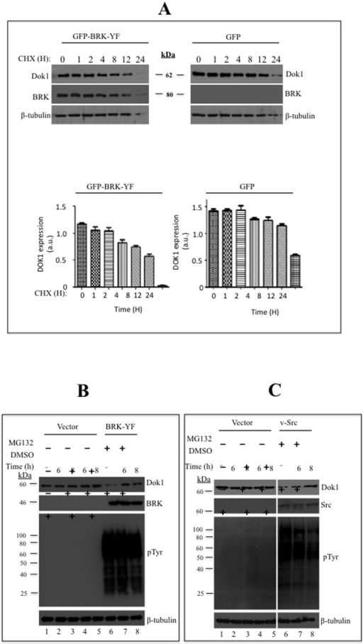 Activated BRK downregulates Dok1 by reducing its stability.(A) HEK 293 cells or HEK 293-BRK-YF stable cell line were treated with a protein synthesis inhibitor cyclohexamide (CHX: 200 µg/ml) for the indicated time points and then the cells were lysed and analyzed by immunoblotting for Dok1, BRK and β-tubulin as a loading control. (B) HEK 293 cells were stably transduced with HEK293-BRK-YF and treated with either a proteosome inhibitor MG132 (10 µM) or the vehicle DMSO as the control, at different time points (above the plot). Cellular proteins were determined in total cell lysates by immunoblotting analysis with anti-Dok1, anti-BRK, anti-phosphotyrosine antibodies. β-tubulin was used as a loading control. (C) Empty vector or V-Src was transiently transfected into HEK293 cells and the cells treated with a proteosome inhibitor MG132 (10 µM) and vehicle control DMSO for the indicated time points. Immunoblotting analysis of total cell lysates was performed to detect Dok1, v-Src, phosphotyrosines and β-tubulin served as a loading control. (D & E) HEK 293 cells were transfected with empty control vector or BRK-YF or v-Src and treated with MG132 (10 µM) and Lactacystin (5 µM) or control vehicle for 8 hours. Then the cell lysates were subjected to immunoblot analysis with anti-Dok1 antibody. β-tubulin as a loading control. (F) HEK293-BRK-YF stable cells were transiently cotransfected with Dok1 and HA-Ubiquitin plasmids and after 12 hours the cells were treated MG132 (10 µM) for an additional 8 hours. The total cell lysates were subjected to immunoprecipitation with anti-Dok1 followed by immunoblotting analysis with anti-HA and anti-Dok1 antibodies. The inputs were analysed as indicated.