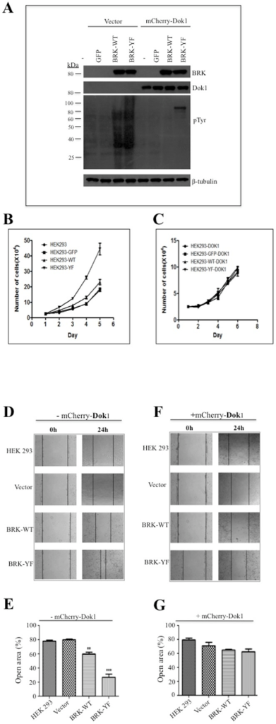 Dok1 inhibits BRK-induced cell proliferation and migration.(A) HEK 293 stable sub-cell lines were transduced with mCherry-Dok1 using adenoviral vector. Cellular proteins were detected in total cell lysates by immunoblotting analysis with anti-BRK, anti-Dok1, and anti-phosphotyrosine antibodies. β-tubulin served as a loading control. (B & C) HEK 293 stable cells were transduced with or without mCherry-Dok1adeno-vector and were monitored for cell proliferation. (D & E) Cell migration determined by the healing of a fixed wound area induced in the different HEK 293 stable transfectant cells. The percentage of open area at 24 h is plotted. (F & G) Cell migration analysis was performed with the indicated stable cell lines expressing mCherry-Dok1 or an empty vector. The assay was based on the rate of wound closure in the scratched cells. The percentage of open area at 24 hours is plotted. The migration assay was performed in three independent experiments. Data are means ± standard errors. Statistics: and **P≥0.001 and ***P≥0.0001.