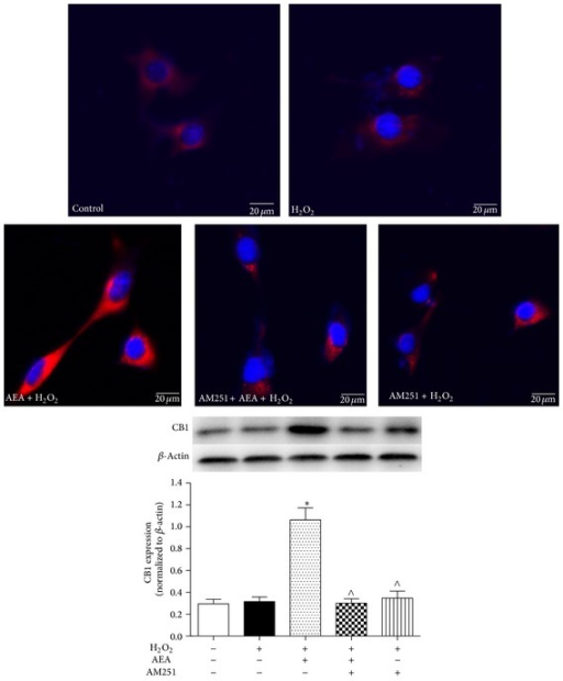 AEA upregulated the expression of CB1 in HT22 cells. Immunofluorescence staining and western blotting were used to investigate the AEA-induced effect on CB1 protein expression in HT22 cells. The cells were divided into five groups, Control: cells cultured in drug-free medium; H2O2: cells exposed to 200 μM H2O2 for 3 h; AEA + H2O2: cells exposed to 10 μM AEA plus 200 μM H2O2 for 3 h; AM251 + AEA + H2O2: cells exposed to 10 μM AEA plus 10 μM CB1 antagonist AM251 at the presence of 200 μM H2O2 for 3 h; AM251 + H2O2: cells exposed to 10 μM AM251 plus 200 μM H2O2 for 3 h. CB1 protein (red) was expressed in HT22 cells. AEA upregulated the expression of CB1 receptor; however CB1 antagonist AM251 reversed the CB1 upregulation in HT22 cells. Nuclei were counter-stained with DAPI (blue). Results are expressed as means ± SD (n = 4). *P < 0.05 versus control (no H2O2, no AEA, and no AM251), ∧P < 0.05 versus the cells exposed to AEA plus H2O2. Bar = 20 μm.