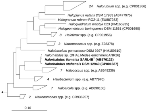 Maximum likelihood tree of the family Halobacteriaceae. The tree was calculated with RAxML v. 7.0.3 (Stamatakis et al., 2005) with Methanospirillum hungatei JF-1 as outgroup. The scale bar represents 10% estimated sequence divergence.