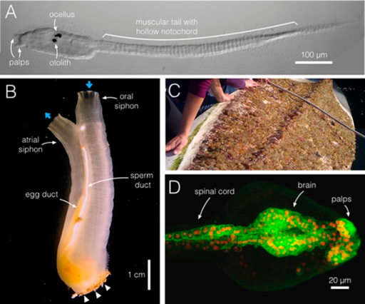 Ciona intestinalis, from swimming larva to filter-feeding adult.(A) During a brief larval phase, C. intestinalis (dorsal is top) finds and attaches to a substrate via its anterior adhesive palps (two of three are shown), where it initiates metamorphosis. The larva swims using a muscular tail, aided by the rigidity and stiffness of the notochord, a hollow tube within the tail. The pigmented brain organs, the ocellus and otolith, which sense light and gravity, help to guide the animal. (B) A C. intestinalis adult has two siphons, oral and atrial, positioned opposite the attachment point (arrowheads); the flow of water in and out is indicated (blue arrows). C. intestinalis are hermaphrodites, and here the egg and sperm ducts are visible; both sperm and eggs exit via the atrial siphon cavity. (C) Clusters of C. intestinalis attached to the underside of a kayak in Santa Barbara, California. These marine invaders often line vessel hulls and crowd submerged ropes, buoys and other surfaces. (D) A confocal projection of the brain and spinal cord of C. intestinalis near hatching stage; anterior is right. C. intestinalis is ideal for imaging and, unlike its larger chordate cousins, large portions of the animal can be imaged within a single field of view. Cell membranes are in green (etr>ArcLight) and nuclei in red (etr>RFP). Image credits: (A, B, D), M Kourakis; (C), S Abdul-Wajid.DOI:http://dx.doi.org/10.7554/eLife.06024.002