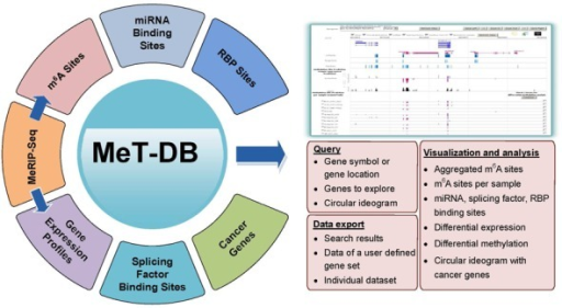 Overall design of MeT-DB database. MeT-DB includes all public available mammalian MeRIP-Seq data sets for RNA methylation sites predicted using exomePeak and MACS2 algorithms. Other related data including binding sites of miRNAs, splicing factors, and RNA binding proteins as well as gene expression profiles were also integrated. MeT-DB also includes an internal genome browser to facilitate data query, visualization, analysis and export.