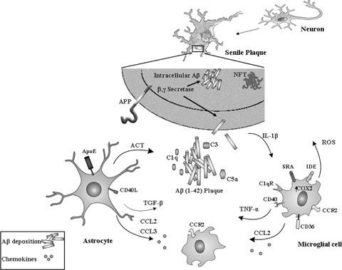 Activation of the glial cell response toward the formation of senile plaque in Alzheimer's disease. The overproduction and extracellular deposition of amyloid β-peptide (AβP) and an intracellular deposition of neurofibrillary tangles (NFT) initiates the pathogenesis of Alzheimer's disease (AD). The production of complement components (C1q, C3 and C5) is the first stage in response to Aβ deposition, resulting in the attraction and activation of microglial cells. Both microglial cells and astrocytes produce multiple pro-inflammatory and neurotoxic factors: transforming growth factor (TGF)-1; tumour necrosis factor (TNF)-α; interleukin-1 (IL-1); CC-chemokine ligand (CCL); antichymotrypsin (ACT); reactive oxygen species (ROS) and cyclooxygenase 2 (COX2). Activated microglial cells express various scavenger receptors (SRs) that mediate phagocytosis of Aβ, such as CD36, SR-A. Microglial cells can also degrade Aβ by releasing Aβ-degrading enzymes, such as insulin-degrading enzyme (IDE).