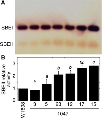 SBE activity in tubers from a series of lines transformed with a SBEII overexpression construct. (A) Native PAGE activity gel with SBE activity visualized by iodine staining. (B) Mean relative SBEII activity ± SD as determined from the density of the spots. Data are from technical replicate protein preparations from the same pooled tissue as Figure 1 run on different gels on different days (n = 3). Means not sharing a common letter are significantly different between groups at P = 0.05 as determined by LSD after a one-way ANOVA test.