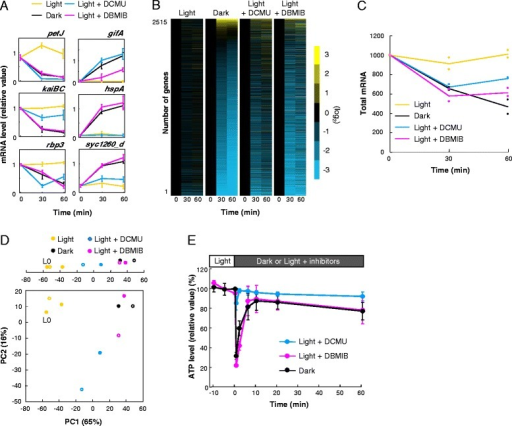 Inhibition of photosynthetic electron transport mimicked dark-repression-like genome-wide transcription profiles under illumination without dramatic loss of ATP content. a Temporal expression profiles of representative dark-repressed or -induced genes using three independent northern hybridisation analyses. We normalized the data for dark-repressed genes to the average value of illuminated samples (0, 30, and 60 minutes), while the data for dark-induced genes were normalized to the average value of dark-incubated samples (30 and 60 minutes). Bars indicate the standard deviation. b Organisation of Synechococcus expression profiles in the light, dark, and light with two inhibitors, DCMU and DBMIB. The data of all genes were normalized to the value at time 0 (minutes), corresponding to 12 hours in the light, and sorted by induction levels in the dark. c Total mRNA pools estimated from the sum of mRNA hybridisation signals normalized to genomic DNA signals under each condition. We normalized the signals at time 0 in the light to 1,000. Plots indicate the results from each independent experiment (n = 2). d The plot of PCA scores. Upper plot shows the PC1 score of each profile only. Filled circles and open circles indicate the samples at 30- and 60-minutes incubation, respectively. L 0 indicates scores of samples at time 0. For panels B to D, we used averaged data from two independent experiments. e Transition of the ATP level when photosynthetic activity was inhibited partially or completely. We transferred cells grown in the light for 12 hours to each condition at time 0. We normalized the ATP levels to the average value of control samples collected in the light at Time −10 to 0 (minutes). Bars indicate the standard deviation from triplicate cultures DBMIB 2,5-dibromo-3-methyl-6-isopropylbenzoquinone, DCMU 3-(3,4-dichlorophenyl)-1,1-dimethylurea, PCA principal component analysis