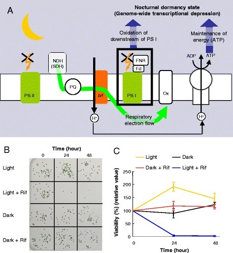 Synechococcus actively initiates a nocturnal dormancy-like state. a Model of nocturnal dormancy-like state initiation. Initiating nocturnal depression of transcription requires maintenance of ATP content and possibly oxidation of the acceptor side of PS I. PS II, photosystem II; NDH, NAD(P)H dehydrogenase complex; SDH, succinate dehydrogenase; PQ, plastoquinone pool; b/f, cytochrome b6/f complex; PS I, photosystem I; FNR, ferredoxin; Fd, ferredoxin; Ox, cytochrome-c oxidase. bSynechococcus colonies grown in the light after incubation under different conditions: in the light or the dark in the presence or absence of rifampicin (Rif) for the indicated time. Cells survived in the dark even without de novo transcription. c The time course of cell survival under each condition quantified from visible colony numbers from independent triplicate experiments. In each experiment, colony numbers were normalized to the average number of control samples at time 0, corresponding to 12 hours in the light. Bars indicate the standard deviation