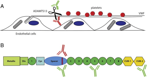 Pathogenicity of anti-ADAMTS13 antibodies. (A) Release of platelet recruiting von Willebrand factor polymers from endothelial cells. VWF polymers that are released from Weibel–Palade bodies assemble into ultra-large strings on the surface of endothelial cells. ADAMTS13 rapidly cleaves VWF strings thereby regulating adhesion of blood platelets. In the absence of ADAMTS13 adhesion of blood platelets to persisting VWF strings may promote microvascular thrombosis. Antibodies that develop in patients with acquired TTP may inhibit the processing activity of ADAMTS13 (indicated in red) or promote clearance of ADAMTS13 from the circulation (indicated in green). (B) Domain structure of ADAMTS13. Inhibitory antibodies that develop in patients with acquired TTP are directed towards an antigenic determinant in the spacer domain (indicated in red). Low-affinity non-inhibitory antibodies (indicated in green) may potentially also target this site. Non-inhibitory antibodies (indicated in green) that promote the clearance of ADAMTS13 may also bind to the TSP2-8 and CUB domains. The study by Thomas shows that clearance of ADAMTS13-Ig complexes contributes significantly to the pathogenesis of acquired TTP.