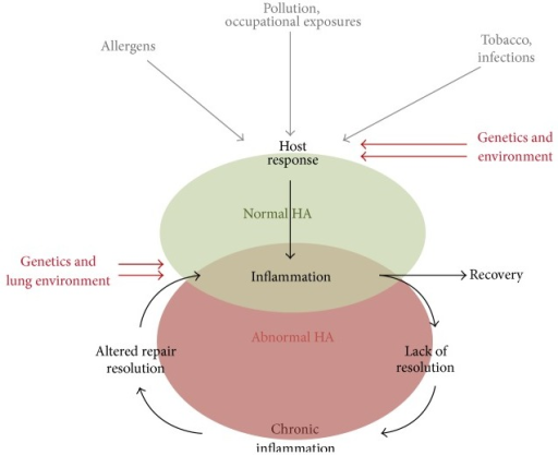 Overview of hyaluronan in respiratory disease: the lung is continuously exposed to external stimuli which can then impact HA synthesis and turnover. Factors such as type of stimuli, genetics, and the lung environment itself determine if resolution or persistent inflammation and HA changes persist.