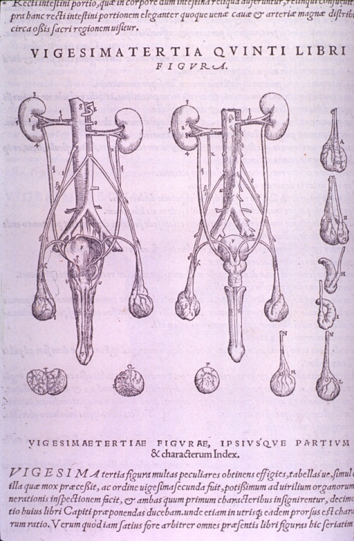 <p>The male reproductive organs and vignettes of the testes.</p>