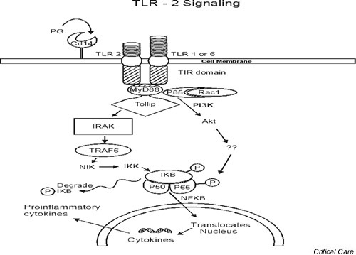 The intracellular signaling pathways of the Toll-like receptor 2 (TLR2) complex. Akt, intracellular protein kinase; IKB, inhibitory subunit κB; IKK, I-κB kinase; IRAK, IL-1 receptor-associated kinase; MyD88, myeloid differentiation factor; NF-κB, nuclear factor-κB; NIK, nuclear factor-κB inducing kinase; PG, peptidoglycan; PI3K, phosphatidyl inositol-3'-kinase; Rac, Rho-type GTPase; TIR, Toll IL-1 receptor; Tollip, Toll interactive protein; TRAF6, tumor necrosis factor receptor-associated factor 6.