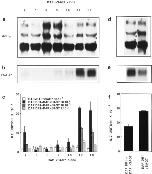 In vitro transfer of  vSAG7 from class II− cells to class  II+ cells. (a and b) Expression levels of vSAG7 and actin mRNA in  different clones of DAP cells  transfected with vSAG7. RNA  was extracted from cloned DAP  vSAG7 transfectants. 10 μg of  RNA were run on a 1.2% agarose-formaldehyde gel and transferred on a nylon membrane.  Membranes were then hybridized  with either actin (a) or vSAG7 (b)  radiolabeled probes and exposed  for 24 h. Each track represents an  individual clone. (c) Murine fibroblasts transfected with vSAG7 can  stimulate T cell hybridomas in the  presence of DAP DR1 cells. 6 ×  104 DAP DR1 cells and 6 × 104  Kmls 13.11 cells were incubated  overnight with either 5 × 104  DAP cells or various amounts of  DAP vSAG7 cells. Supernatants  were then harvested and tested for  IL-2 activity. (d and e) Levels of  vSAG7 expression by DAP vSAG7  clone 18 and DAP DR1 vSAG7  are comparable. RNA was extracted from DAP vSAG7 clone  18 and DAP DR1 vSAG7 clone  3B2, run on a 1.2% agarose-formaldehyde gel and hybridized with  actin (d) or vSAG7 (  f ) radiolabeled probes. (  f ) Levels of stimulation in the transfer assay (DAP  vSAG7 + DAP DR1) and in direct presentation (DAP DR1  vSAG7) are comparable. 6 × 104  Kmls 13.11 cells were cocultured  in 250 μl either with 6 × 104  DAP DR1 cells and 5 × 104 DAP  vSAG7 clone 18 cells, or with 6 ×  104 DAP DR1 vSAG7 cells. Supernatants were then harvested  and tested for IL-2 production.