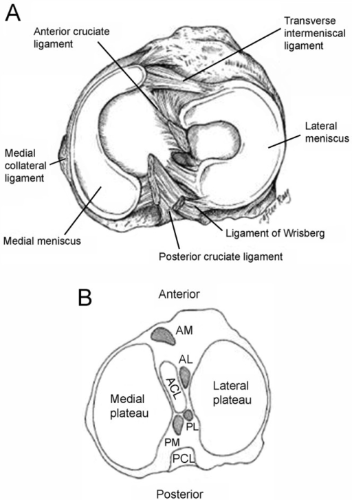 A Anatomy Of The Meniscus Viewed From Above Adapted Open I