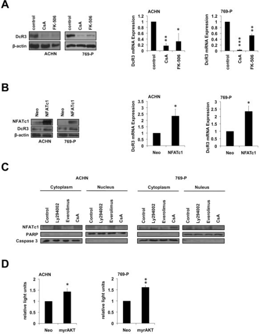 NFATc1 regulates DcR3 expression at a transcriptional level. (A,B) Immunoblot analysis of whole-cell lysates and quantitative real-time-PCR assaying relative DcR3 mRNA expression of ACHN and 769-P cells 24 h after treatment with cyclosporin A (CsA, 25 μM) or Tacrolimus (FK-506, 50 μM) (A); 48 h post transfection with NFATc1 or an empty vector control (neo) (B). Expression data were normalized to internal 18S rRNA expression (mean ± SEM; n=3; *p<0.05, **p<0.01, ***p<0.001; T-test). (C) Immunoblot analysis of cytoplasmic and nuclear fractions of ACHN and 769-P cells after treatment with LY294002 (50 μM), Everolimus (1 μM), or Cyclosporine A (25 μM). (D) Relative NFATc1–luciferase reporter activity of ACHN and 769-P cells 24 h post transfection with myrAkt or an empty vector control (neo) (mean ± SEM; n=3; *p<0.05, **p<0.01; T-test).