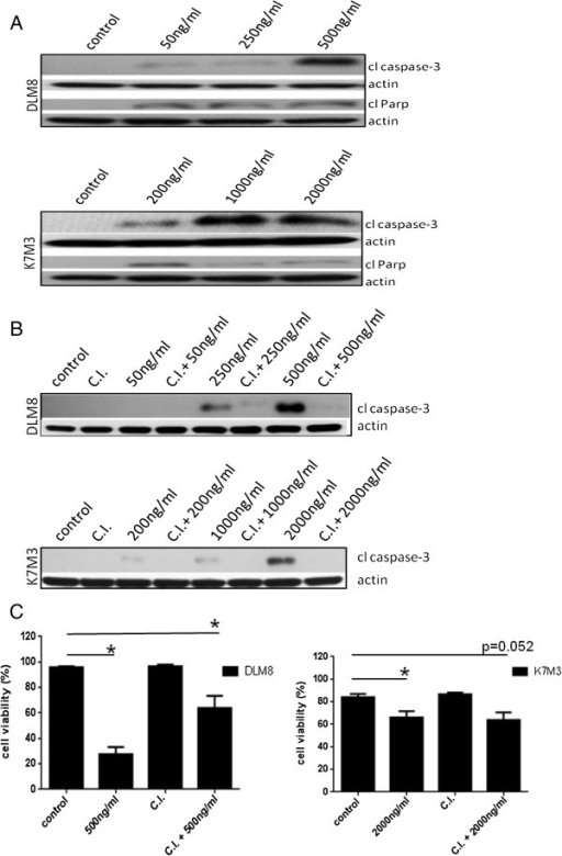 Camptothecin induces caspase activation. Cells were treated with no drug, or CPT or caspase inhibitor plus CPT at doses as indicated for 48 h. Following drug treatment, cells were lysed and cell lysate immunoblotted for cleaved caspase-3 and cleaved Parp protein expression. A, Cleaved caspase-3 and cleaved PARP protein expression in wildtype DLM8 and K7M3 cells. B, Pan caspase inhibitor blocks caspase-3 activation. Cells were treated with CPT doses indicated in figure for 48 h. Treatment doses were based on cell sensitivity to CPT. C, Caspase inhibition reverses CPT-induced cell death in DLM8. Wildtype DLM8 and K7M3 cells were pretreated with a pan-caspase inhibitor for 2 h followed by CPT treatment for 48 h. Control group received no drug and an additional group received CPT only. Cell viability was determined by trypan blue exclusion assay. *, p < 0.05, compared with control group. Data represents the results of at least three independent experiments, ± SE. p < 0.05 was considered significant. Actin served as a protein loading control. Immunoblots are representative of immunoblots from at least two independent experiments.