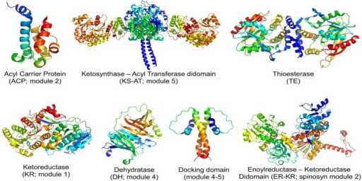 Ribbon diagram representationsof atomic structures of prototypicaldomains and didomains from assembly line polyketide synthases. Infigures showing KR and ER domains, the bound NADPH cofactor is alsoshown. All structures were derived from components of DEBS itself,with the exception of the ER-KR didomain obtained from the spinosynsynthase. For details, see refs (4−9).