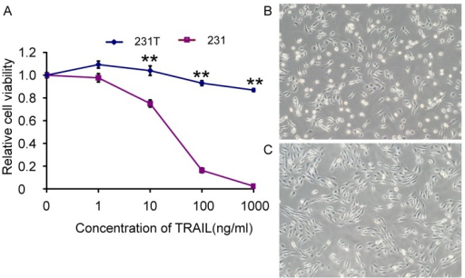 TRAIL-resistant cells (231T) were resistant to TRAIL and had different morphology from MDA-MB-231 cells (231).A. Sensitization of 231 cells and 231T cells to TRAIL at gradient concentrations was measured by MTT assay. Points represented the average of three independent experiments. Bars stood for SD; *P<0.05; **P<0.01; B and C. Resistance to TRAIL induced morphological change. B: 231 cells. C: 231T cells. Cells were observed under a light microscope.